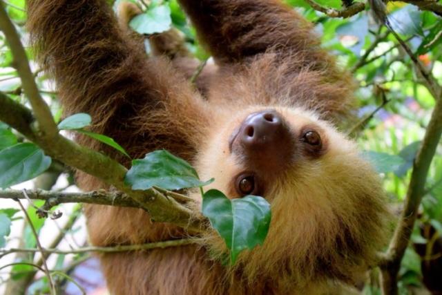 Sloth Costa Rica Wildlife
